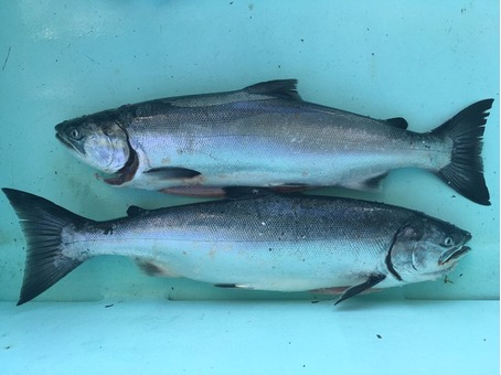 Fresh (troll caught) Beautiful Coho Salmon for sale 3.00 per lb.